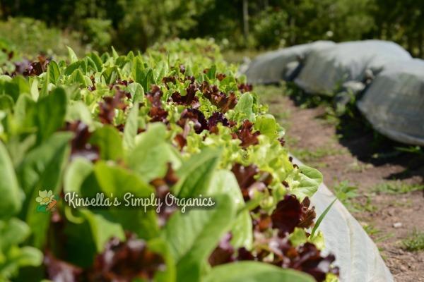 Organic greens growing in the sun.